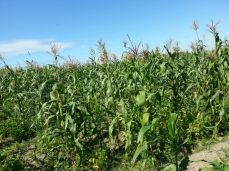 The corn dries in the Haiti sun.