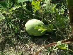 A melon!