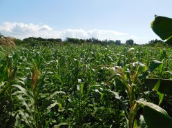 Corn, beans, melons, bananas, eggplant and moringa trees are growing here!