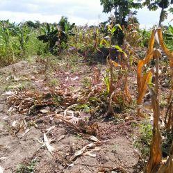 Corn Harvest 1