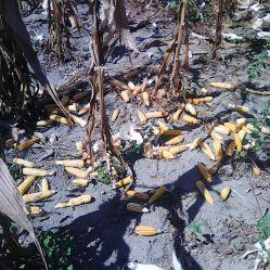 Corn Harvest 3