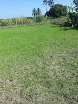 early rice seedlings