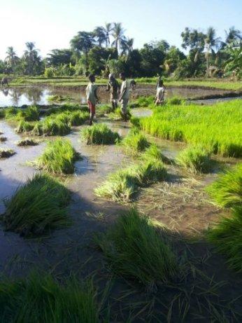 harvesting seedlings 2