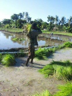 harvesting seedlings 4