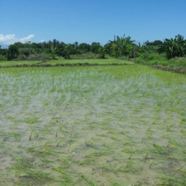 planted rice 2