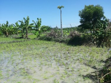 planted rice 3