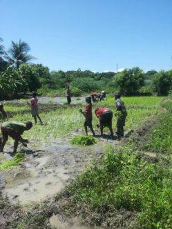 planting rice 10