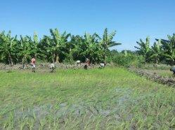 planting rice 11