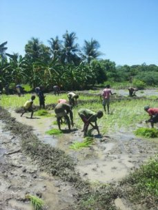 planting rice 12