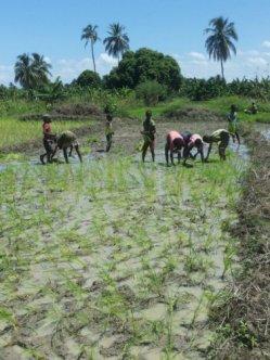planting rice 13