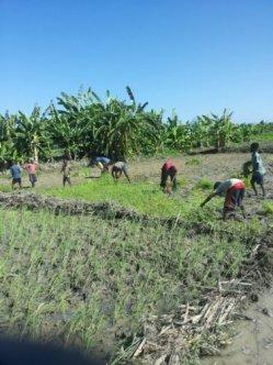 planting rice 3