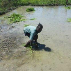 planting rice 5