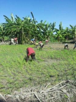 planting rice 6
