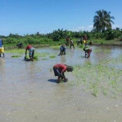 planting rice 7