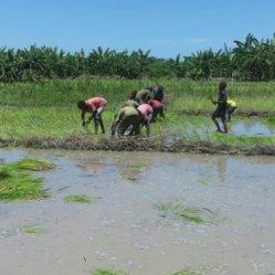 planting rice 8