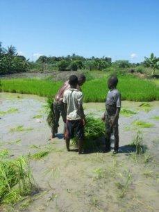 planting rice 9
