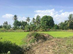 rice seedlings 2