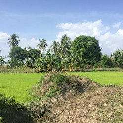 rice seedlings 2