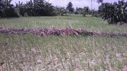 Rice 8