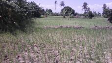 Rice 9