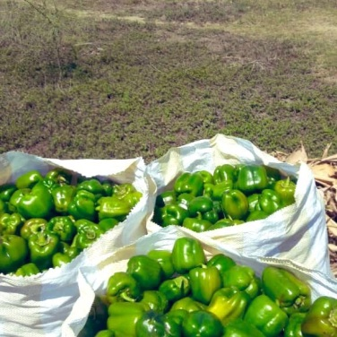 Peppers ready for market.